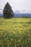 Eurepean Yellow Rattle (Rhinanthus Alectorolophus) Flowering in Alpine Meadow, Liechtenstein Photographic Print by  Giesbers