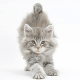 Maine Coon Kitten, 7 Weeks, Stretching Photographic Print by Mark Taylor