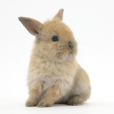 Baby Lionhead Lop Cross Rabbit Photographic Print by Mark Taylor