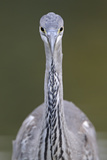 Grey Heron (Ardea Cincerea) Head on Portrait, Elbe Biosphere Reserve, Lower Saxony, Germany Photographic Print by  Damschen