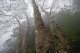Plane Trees (Platanus Sp) in Mist, Ribeiro Frio Area, Madeira, March 2009 Photographic Print by  Radisics