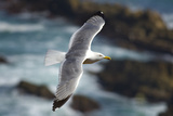 Yellow Legged Gull in Flight, Almograve, Np of South West Alentejano and Costa Vicentina, Portugal Photographic Print by  Quinta