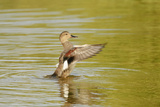 Gadwall (Anas Strepera) Female Duck Stretching Wings on Rutland Water, Rutland, UK, April Photographic Print by Terry Whittaker