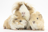 Long-Haired Mother Guinea Pig and Babies Photographic Print by Mark Taylor