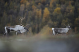 Reindeer (Rangifer Tarandus) Pair, Forollhogna National Park, Norway, September 2008 Photographic Print by  Munier