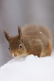 Red Squirrel (Sciurus Vulgaris) Foraging in Snow, Glenfeshie, Cairngorms Np, Scotland, February Photographic Print by  Cairns