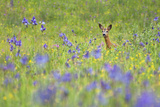 Male Roe Deer (Capreolus Capreolus) in Flower Meadow with Siberian Irises (Iris Sibirica) Slovakia Photographic Print by  Wothe