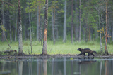 Wild Eurasian Wolverine (Gulo Gulo) Walking Along Waters Edge, Kuhmo, Finland, July 2008 Photographic Print by  Widstrand