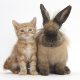 Ginger Kitten and Lionhead Cross Rabbit Photographic Print by Mark Taylor