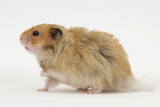 Long-Haired Syrian Hamster Photographic Print by Mark Taylor