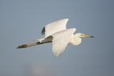 Great White Egret (Ardea Alba) in Flight, Oostvaardersplassen, Netherlands, June 2009 Photographic Print by  Hamblin
