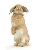 Sandy Lop Rabbit Sitting Up on its Haunches Photographic Print by Mark Taylor