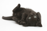 Black Kitten, 7 Weeks, Rolling on its Back Fotografisk tryk af Mark Taylor