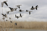 White Fronted Geese (Anser Albifrons) in Flight, Durankulak Lake, Bulgaria, February 2009 Photographic Print by  Presti