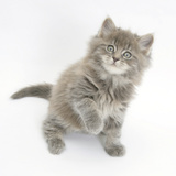 Maine Coon Kitten, 7 Weeks, Looking Up Photographic Print by Mark Taylor