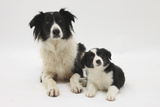 Border Collie Mother and Puppy Photographic Print by Mark Taylor