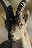 Male Spanish Ibex (Capra Pyrenaica) Portrait, Sierra De Gredos, Spain, November 2008 Photographic Print by  Widstrand