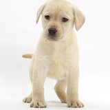 Yellow Labrador Retriever Puppy, 7 Weeks Photographic Print by Mark Taylor