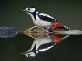 Great Spotted Woodpecker (Dendrocopus Major) at Water, Pusztaszer, Hungary, May 2008 Photographic Print by Varesvuo