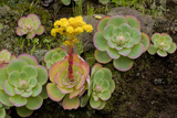 Bejeque (Aeonium - Greenovia Diplocyla) in Flower, La Palma, Canary Islands, Spain, March 2009 Photographic Print by Relanzón