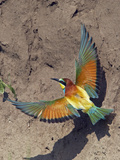 European Bee-Eater (Merops Apiaster) Flying to Nest Hole in Bank, Pusztaszer, Hungary, May 2008 Photographic Print by  Varesvuo
