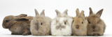 Five Baby Lionhead-Cross Rabbits in Line Lámina fotográfica por Mark Taylor