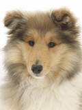 Portrait of a Rough Collie Puppy, 14 Weeks Photographic Print by Mark Taylor