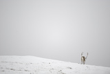 Rear View of Reindeer (Rangifer Tarandus) in Snow, Forollhogna National Park, Norway, September Photographic Print by  Munier