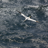 Northern Gannet (Morus Bassanus) in Flight, St. Kilda Archipielago, Outer Hebrides, Scotland, June Papier Photo par  Muñoz