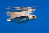 Loggerhead Turtle (Caretta Caretta) Swimming at Water Surface, Pico, Azores, Portugal Photographic Print by  Lundgren