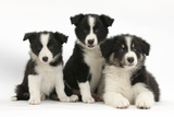 Three Black-And-White Border Collie Pups Photographic Print by Mark Taylor