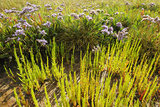 Common Sea Lavender and Common Glasswort on Saltmarsh, Abbotts Hall Farm Nr, Essex, England, UK Photographic Print by Terry Whittaker