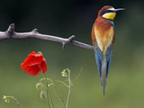 European Bee-Eater (Merops Apiaster) Perched Beside Poppy Flower, Pusztaszer, Hungary, May 2008 Photographic Print by  Varesvuo