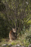 Wild Iberian Lynx (Lynx Pardinus) One Year Old Male with Gps Tracking Collar, Sierra Morena, Spain Photographic Print by  Oxford