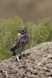 Little Owl (Athene Noctua) Standing on Rock, Bagerova Steppe, Kerch Peninsula, Crimea, Ukraine Photographic Print by  Lesniewski