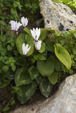 Cyclamen (Cyclamen Persicum) in Flower, Akamas Peninsula, Cyprus, May 2009 Photographic Print by  Lilja