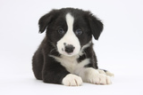 Border Collie Puppy Photographic Print by Mark Taylor