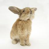 Lionhead-Cross Rabbit, Sniffing Reproduction photographique par Mark Taylor