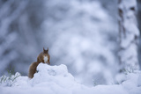 Red Squirrel (Sciurus Vulgaris) in Snow, Glenfeshie, Cairngorms Np, Scotland, February 2009 Photographic Print by  Cairns