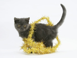 Grey Kitten with Gold Christmas Tinsel Photographic Print by Mark Taylor