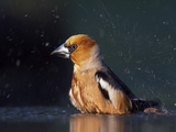 Hawfinch (Coccothraustes Coccothraustes) Bathing, Pusztaszer, Hungary, May 2008 Photographic Print by  Varesvuo