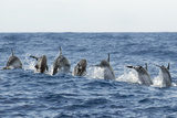 Rear View of Atlantic Spotted Dolphins (Stenella Frontalis) Porpoising, Pico, Azores, Portugal Photographic Print by  Lundgren