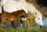 White Camargue Horse, Mother with Brown Foal, Camargue, France, April 2009 Photographic Print by  Allofs