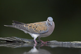 Turtle Dove (Streptopelia Turtur) at Water, Pusztaszer, Hungary, May 2008 Photographic Print by  Varesvuo