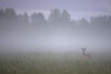 Roe Deer (Capreolus Capreolus) Buck in Wet Meadow at Dawn, Nemunas Delta, Lithuania, June 2009 Photographic Print by  Hamblin