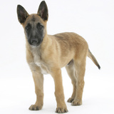 Belgian Shepherd Dog Puppy, Antar, 10 Weeks Photographic Print by Mark Taylor