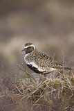 Golden Plover (Pluvialis Apricaria) Myvatn, Thingeyjarsyslur, Iceland, June 2009 Photographic Print by Bergmann