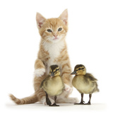 Ginger Kitten and Mallard Ducklings Photographic Print by Mark Taylor