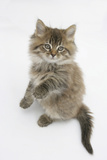 Maine Coon Kitten, 8 Weeks, Standing Up Photographic Print by Mark Taylor