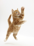 Ginger Kitten Leaping in to the Air Photographic Print by Mark Taylor